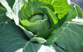 Лечение капустными листьями