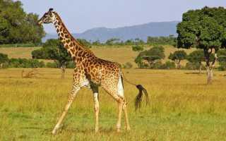 Сколько позвонков в шейном отделе у жирафа