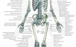 Сколько костей в теле взрослого