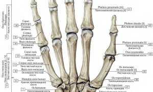 Анатомия руки человека кости