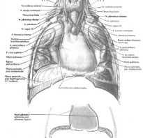 Защемление диафрагмального нерва