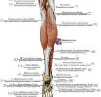 Мышцы спереди голени