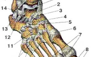 Передняя связка головки малоберцовой кости
