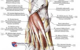 Ступня человека строение мышцы