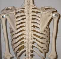 Сколько ребер у человека в грудной клетке