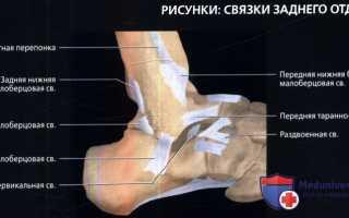 Связки голеностопного сустава анатомия
