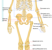 Сколько всего в человеке костей