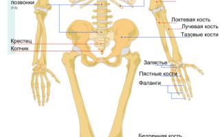 Сколько костей в человеке всего